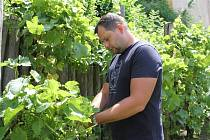Révě z boleslavské vinice deštivé počasí neuškodilo