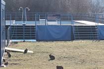 Na sídlišti lze pozorovat desítky králíků
