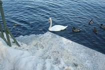 Labutě na rybníku Veselák jsou zachráněné