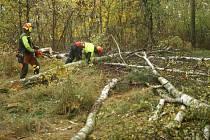 Na Sahaře lesníci kácí nemocné stromy