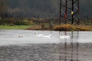 Hejno labutí si užívá novou vodní plochu u Bakova.