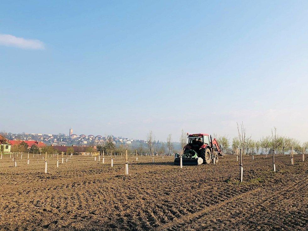 Příprava mandloňového sadu v Benátkách nad Jizerou na osetí květnatou loukou.