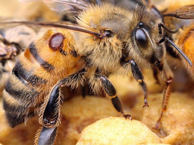 Kleštík včelí (Varroa Destructor) přisátý na těle včely.