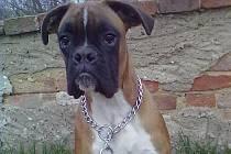 Pes, který se ztratil v Jizerním Vtelně