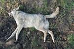 Přejetý vlk nedaleko Mnichova Hradiště.