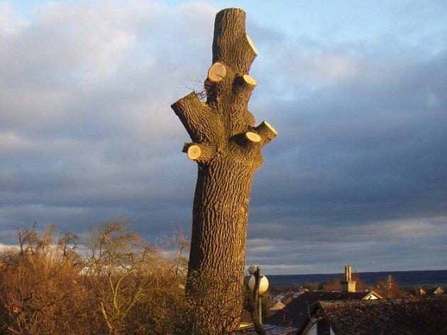 Mohutný dub v Dobrovici bohužel nebylo možné zachránit