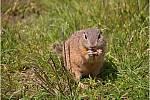 Syslové žijící na Radouči mohou opravdu někdy připomínat surikaty