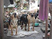 Ve velkém rodinném domě Na Kozině chová Václav Hrbáček několik desítek psů. Ti tu žijí v naprosto otřesných podmínkách a za necelých čtrnáct dní mu budou odebráni. Hrbáček ale říká, že si pořídí další.