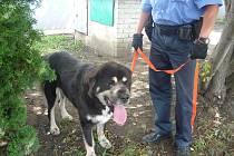 Volně pobíhající dogu odchytila hlídka strážníků