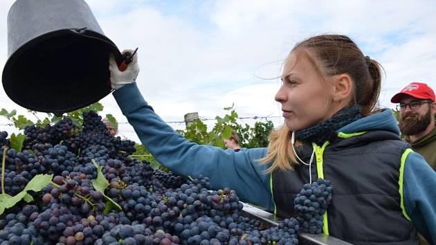 Ze sklizně vína ve Slaném-Kvíci