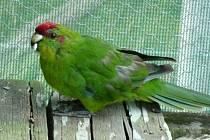 Papoušek kakariki.