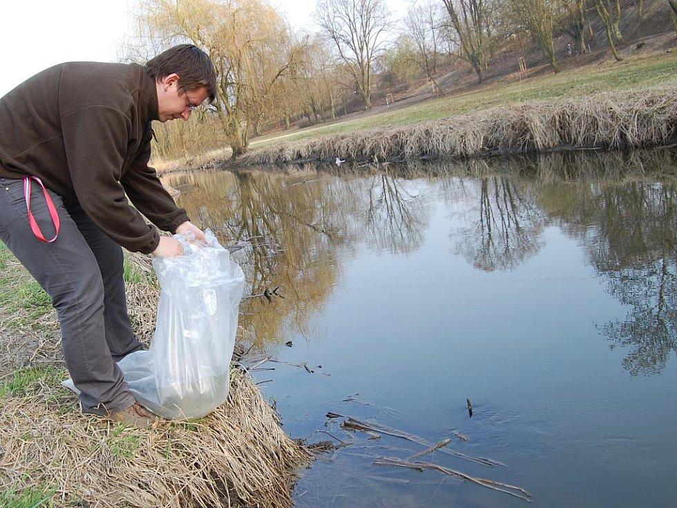 Vysazování úhořů do řek na Mladoboleslavsku.