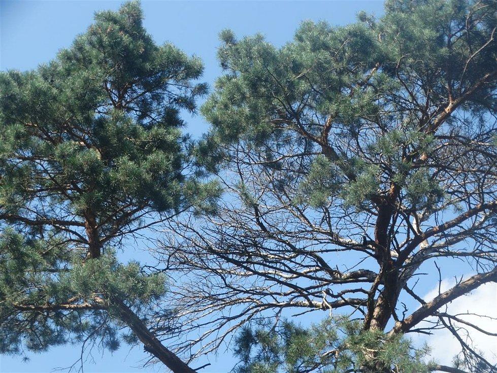 V lese na Sahaře začne již ve středu 15. září 2021 kácení suchých a nestabilních stromů.