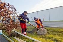 Sázení stromů na katastru města pokračuje i tento týden.