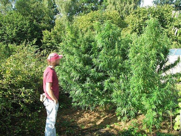 Rostliny konopí, objevené policisty na zahradě mladého muže