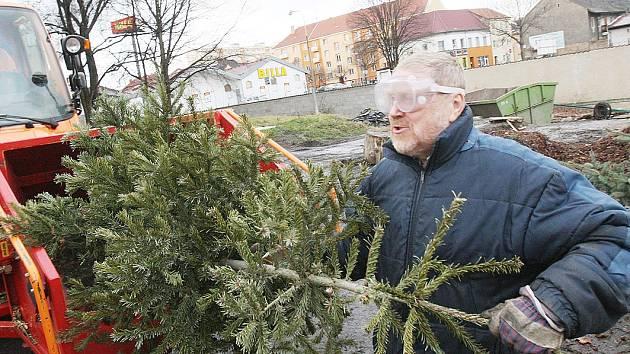 VÁNOČNÍ STROMKY v Mladé Boleslavi skončí ve štěpkovači a dál poslouží na záhoncích.