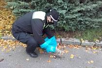 Strážníci městské policie sbírají v Mladé Boleslavi uhynulé králíky.