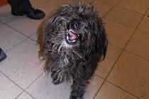Sympatický chlupáč své majitele nenašel, a byl tak prvním psem, kterého mnichovohradišťská městská policie musela odvézt do psího útulku v Lysé nad Labem.