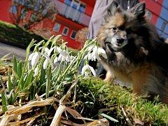 Na některých místech Vysočiny již začaly kvést sněženky.
