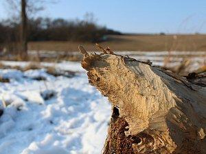 Bobři se zabydleli na Stařečském potoce. Staví tam nové hráze