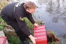 Policisté bobra chytili a následně vypustili do jeho přirozeného prostředí do řeky Jihlavy.