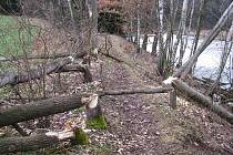 Kmeny na hrázi a na břehu vodní nádrže Lubí u Třebíče nesou jasně čitelný bobří rukopis. Bobři u Lubí řádí opakovaně. Několik stromů tam pokáceli už dříve, v minulých dnech k nim přibyly další.