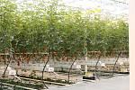 U Kožichovic sklízejí první desítky tun rajčat.