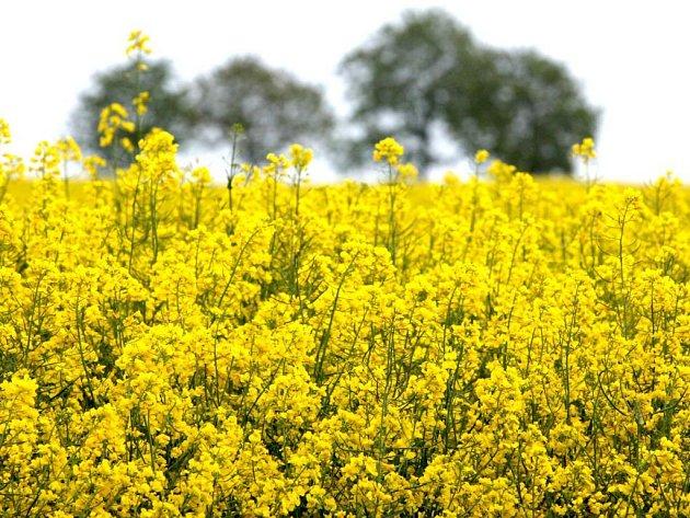 """Vysočina má velmi příznivé klima pro pěstování řepky. Zdejší farmáři ji """"umějí"""". Preferují tuto plodinu i proto, že se v posledních letech její výkupní ceny drží na stabilní pozici."""