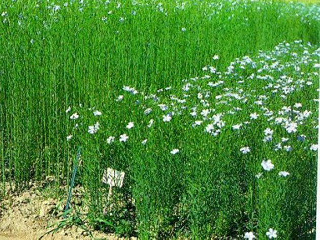 Zemědělci na Vysočině končí s pěstováním přadného lnu, které má v tomto regionu staletou tradici.