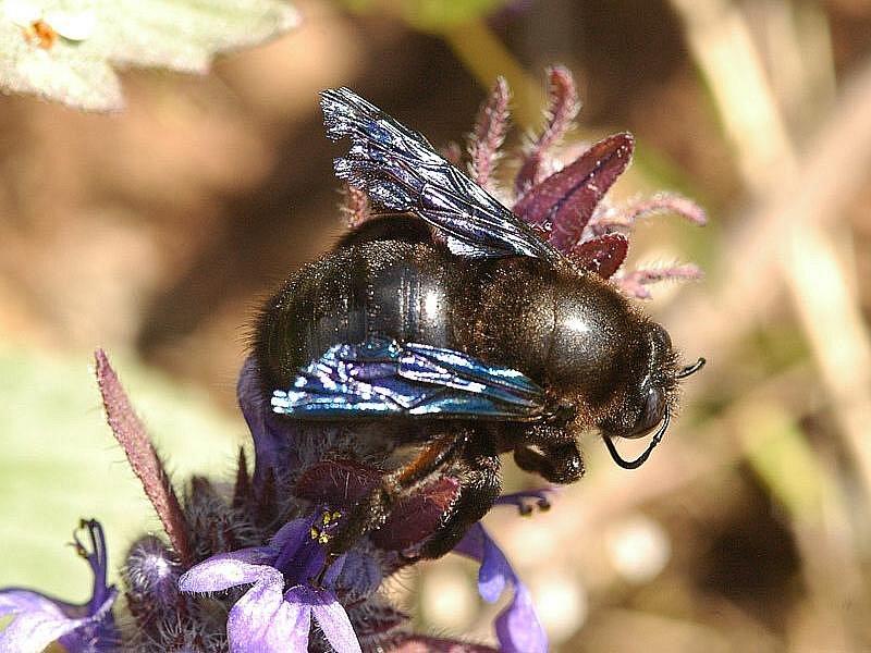 Drvodělka fialová - největší česká včela. Je teplomilná, přátelská, žije samotářský život, vykousává si až 40 cm hluboké tunely do starého dřeva.