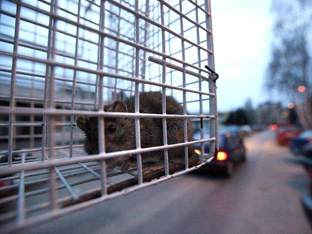 POTKAN OBECNÝ. Zkušený pracovník dostal malátného hlodavce do schrány pomocí odchytové sítě. Zvíře naštěstí nikoho nekouslo ani neškráblo.
