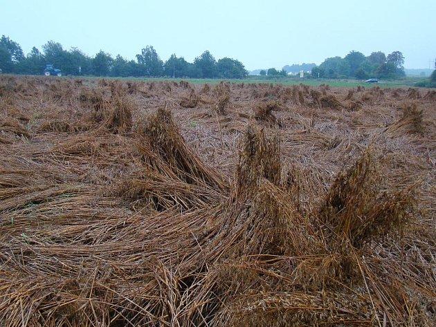 Obilí na polích trpí při současném počasí nejvíce poleháváním. Příkladem toho je třeba oves u silnice v půli cesty mezi Trnavou a Rudíkovem, u rybníku Březina.