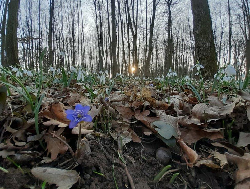V lesích u Příštpa kvetou stovky sněženek.