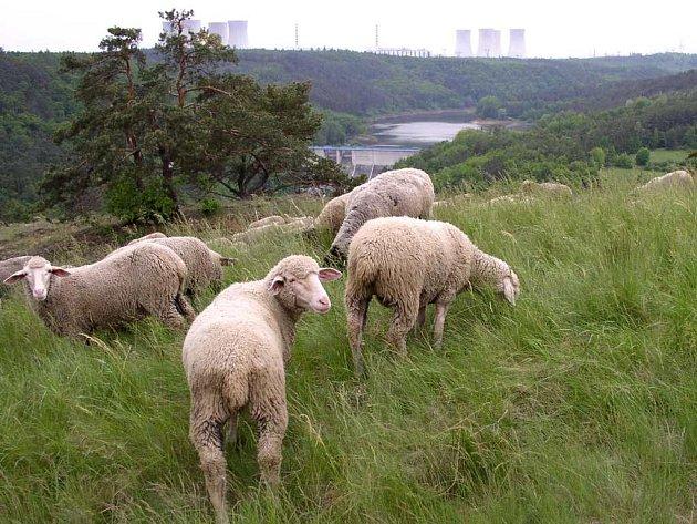 Pastva na stepi. Každým rokem spásají trávu na Mohelenské stepi ovce.