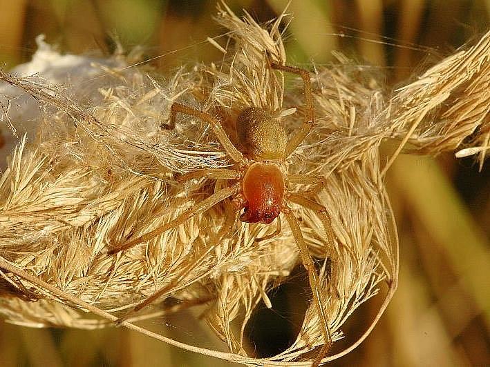 ZÁPŘEDNICE JEDOVATÁ. Dva centimetry velký pavouk žije na Znojemsku, hlavně  v trávě  třtině křovištní.