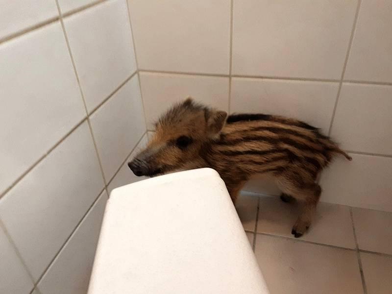 Pohotová obsluha zavřela čuníka na záchodě. Hasiči ho vypustili zpět do přírody.