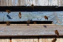 I když je stále zima a potravy minimum, využívají včely slunečné dny k proletu.