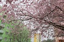Třebíč rozkvetla. Přestože současné teploty jsou spíše zimní, teplý nástup měsíce stačil k tomu, aby v ulicích rozkvetly květiny, keře a dokonce i stromy.