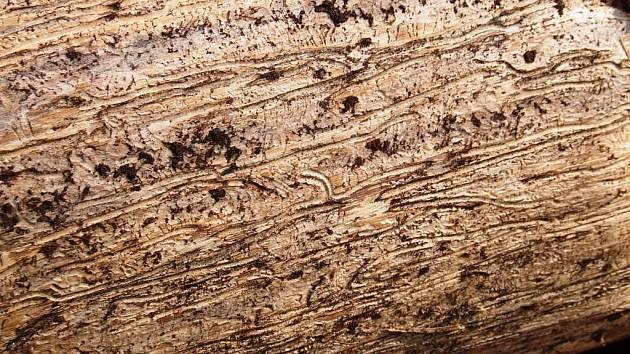 Ve zněti snubních komůrek lýkožrouta je nápadná jedna zatočená. Takovou vytváří jen lýkožrout severský.