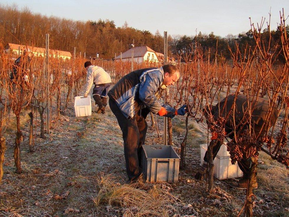 Ledově tvrdé hrozny z podsádeckých vinic sklízeli naposledy v roce 2014.