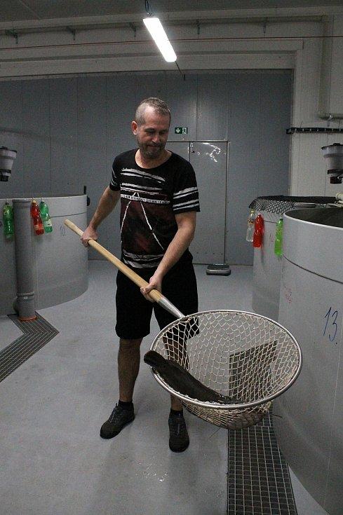 Sumečky africké se jako první na Vysočině rozhodli chovat ve velkém v ZD Hrotovice. Vladimír Podsedník ukazuje jeden z největších exemplářů, který aktuálně žije v kádích hrotovické rybárny.