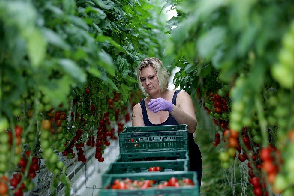 Zeleninová farma v Kožichovicích u Třebíče, kde se pěstují v obrovských sklenících rajčata.