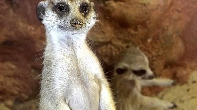 Malé surikaty jsou pouze jednou ze skupin mláďat, která se s příchodem jara narodila v jihlavské zoo.