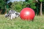 Treibball, nový hit mezi kynologickými sporty.