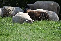 I skrze stádo ovcí lze poslat vzkaz.