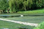 Zelená neprostupná masa řas, která v teplých dnech zahnívá a páchne. Tak vypadá hladina rozlehlého rybníka na návsi v samém středu Lažínek.