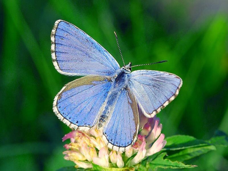 Modrásek jetelový - dříve zcela běžný druh motýla, který se po desítkách let opět vrací na Třebíčsko a do jižních Čech. Ohrožený druh.