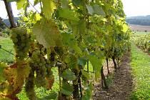 Kojetice, vinařskou obec, připomínají v nových symbolech, znaku a vlajce, také hrozny.