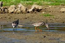 Vypuštěné rybníky lákají vzácné ptáky. Pozorovatel může zahlédnout například vodouše (vlevo vodouš šedý, vpravo vodouš tmavý).