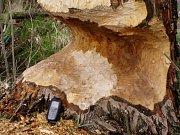 Jeden z kmenů, který bobři ohlodali v okolí Litohoře. Zvířata si volí zejména nejsilnější kmeny topolů, olší či jasanů.